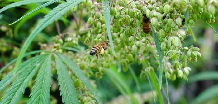 Abelhas adoram cannabis e este caso de amor pode ajudar a salvar a espécie